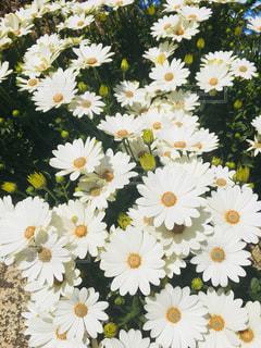 白い花の写真・画像素材[1169479]