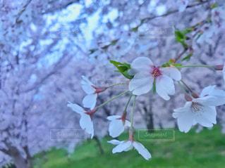 桜の写真・画像素材[1172767]