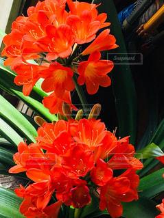 赤い蘭の写真・画像素材[1198975]