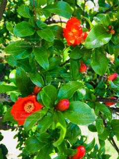 ザクロの花の写真・画像素材[1202701]