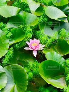 スイレンの花の写真・画像素材[1203989]
