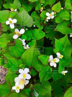 どくだみの花の写真・画像素材[1204782]