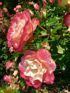 赤と白の大輪のバラの写真・画像素材[1224058]