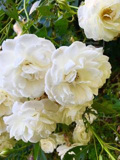 白いバラの写真・画像素材[1224084]