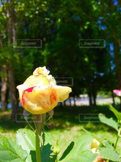 黄色のバラの写真・画像素材[1224085]