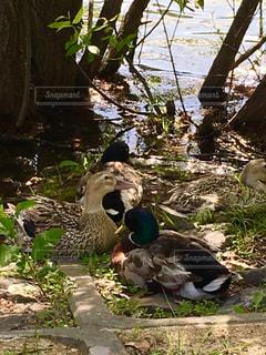 鴨の休憩の写真・画像素材[1224096]