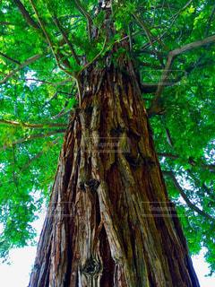 大きな木の写真・画像素材[1224098]