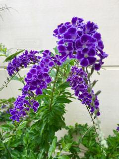 紫の花の写真・画像素材[1239984]