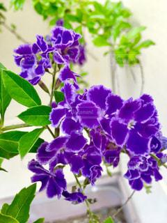 紫の花の写真・画像素材[1239985]