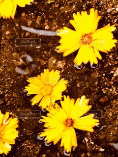 水たまりに黄色い花の写真・画像素材[1256642]