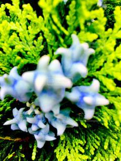 ヒノキの花の写真・画像素材[1258093]