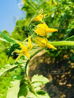 ミニトマトの花の写真・画像素材[1266814]