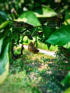 みかんの木にぶら下がるせみのぬけがらの写真・画像素材[1310139]