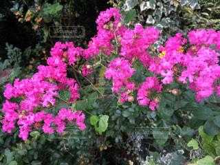 夏に鮮やかなピンクの花の写真・画像素材[1366246]