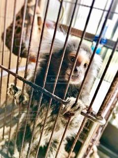 お猿の桃ちゃんの写真・画像素材[1378410]