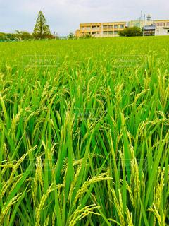 台風に耐えた稲の写真・画像素材[1436841]