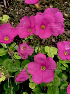 花カタバミの写真・画像素材[1503373]