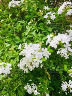 白い花の写真・画像素材[1519677]