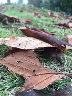 枯れ葉の写真・画像素材[1593774]