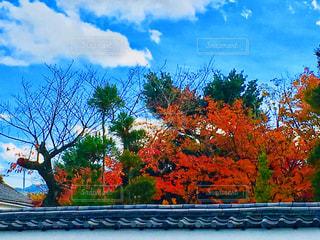 塀の中の紅葉の写真・画像素材[1655944]