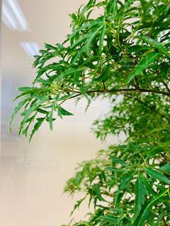 緑の葉の木の写真・画像素材[1687847]
