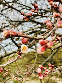 木の枝にピンク色梅の写真・画像素材[1755739]