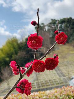 真っ赤な梅の木の写真・画像素材[1782321]