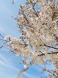 桜の写真・画像素材[2021384]