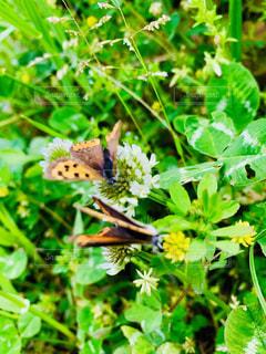 仲良し蝶々の写真・画像素材[2093321]