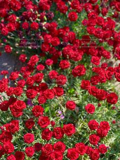 赤い花の写真・画像素材[2114798]