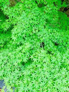 綺麗な緑のもみじの写真・画像素材[2137536]