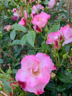 薔薇の写真・画像素材[2139041]