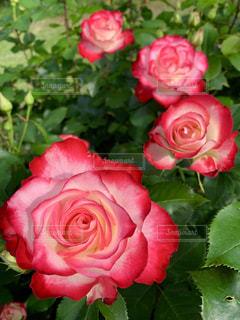 薔薇の写真・画像素材[2139050]