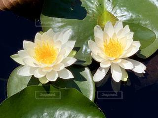 睡蓮の花の写真・画像素材[2147547]