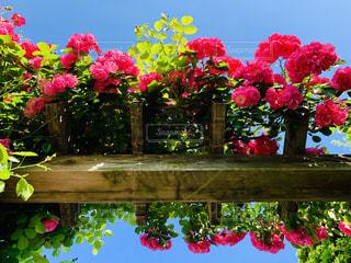 薔薇の写真・画像素材[2147555]