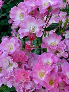薔薇の写真・画像素材[2147563]