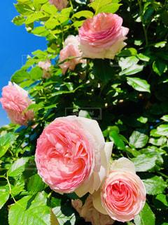 薔薇の写真・画像素材[2147569]