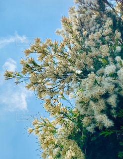 フワフワで白い花の写真・画像素材[2176957]