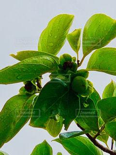 緑の葉のある木の写真・画像素材[2183871]