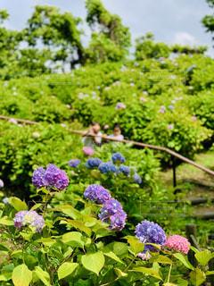 紫陽花の写真・画像素材[2186971]