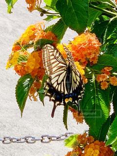アゲハ蝶の写真・画像素材[2224707]
