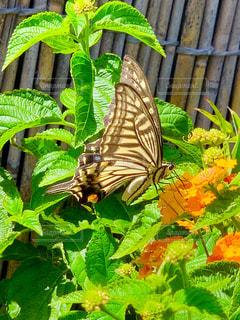 アゲハ蝶の写真・画像素材[2224711]