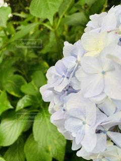 紫陽花の写真・画像素材[2248807]