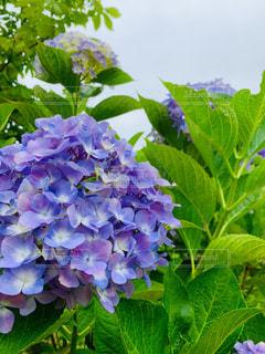 紫陽花の写真・画像素材[2248808]