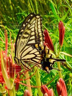 アゲハ蝶の写真・画像素材[2476675]