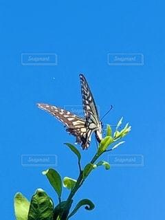 アゲハ蝶の写真・画像素材[2507518]