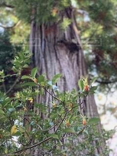 大木の写真・画像素材[2739898]