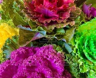 お正月の葉牡丹の写真・画像素材[3988413]