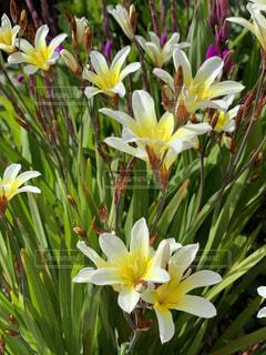 スマートに伸びたクリーム色の花の写真・画像素材[4321563]