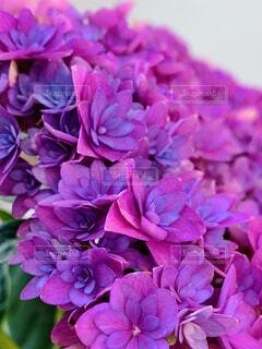 梅雨の時季といえば紫陽花の写真・画像素材[4533613]